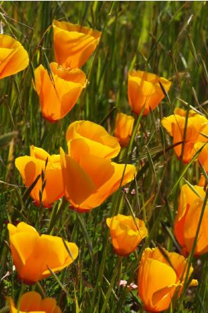 California Poppy (Amapola de California)