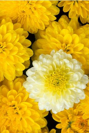 Chrysanthemum (Crisantemo)