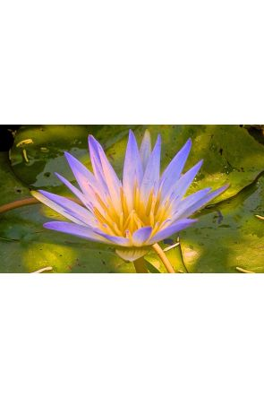 Grace of Creation-Blue Water Lily
